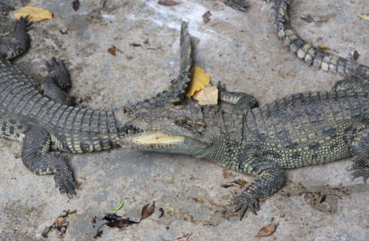 шоу крокодилов