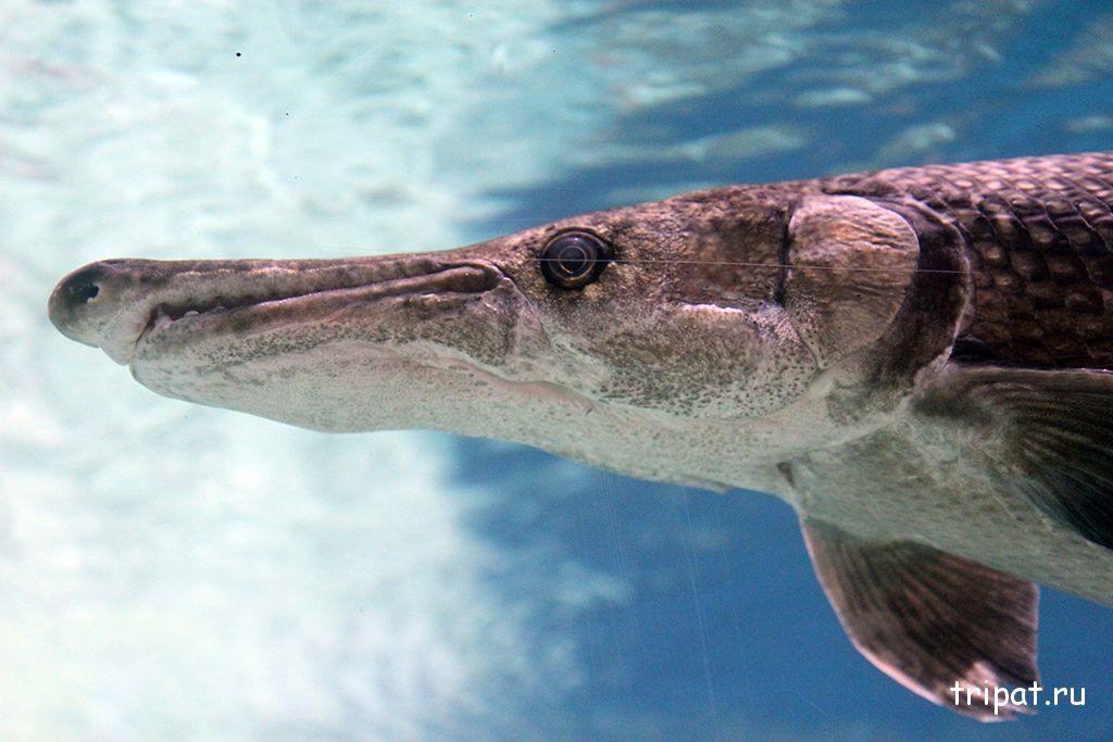 рыба с острым носом