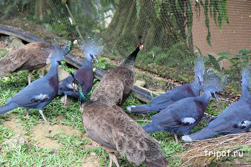 много голубей