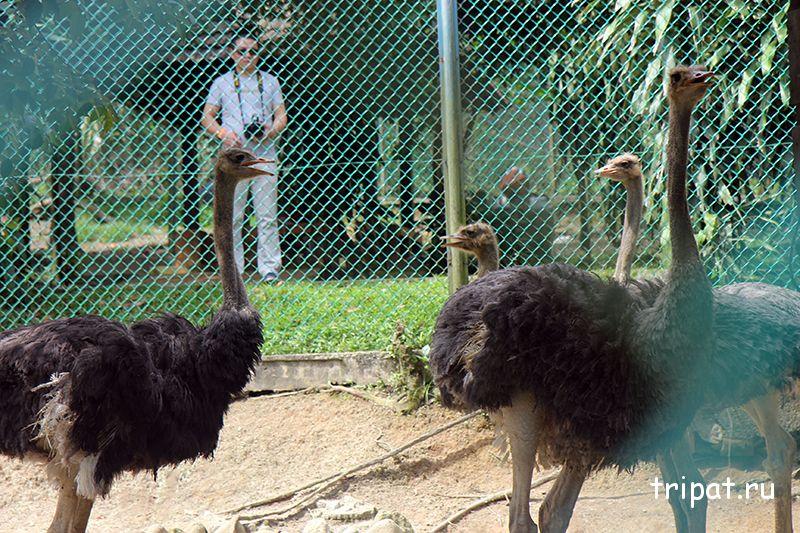 страусы эму