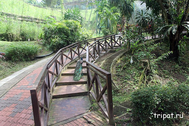 павлин идущий по лестнице