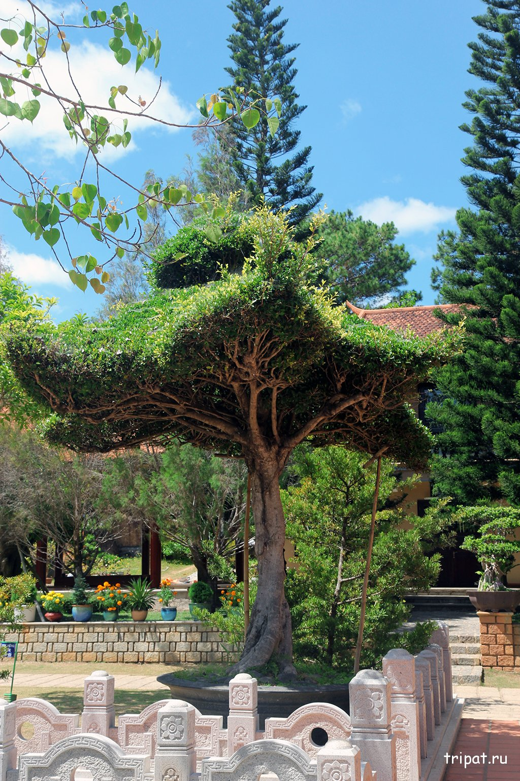 Дерево по форме напоминающее звезду