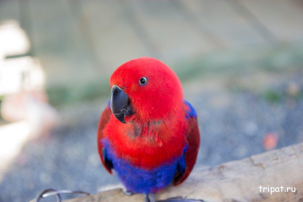 Красно синий попугай