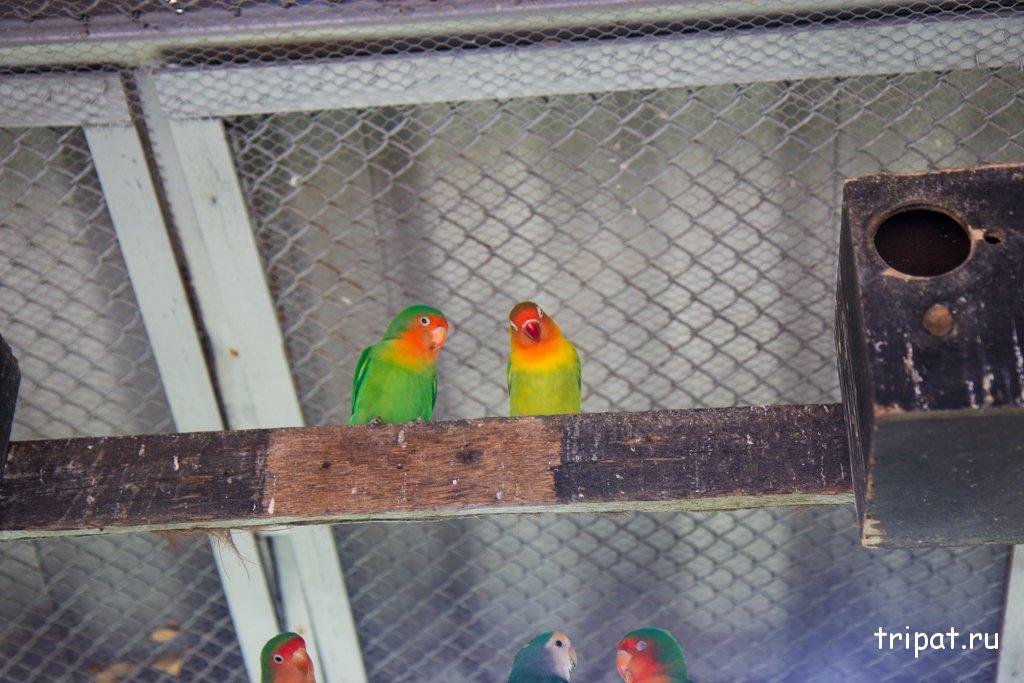 Два попугая